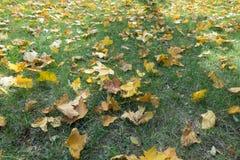 槭树在草离开在晴天 库存图片