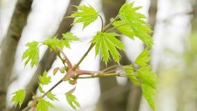 年轻槭树在风把摇动留在 影视素材