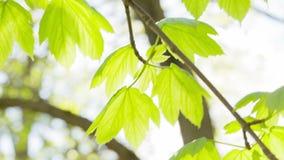 年轻槭树在风把摇动留在 股票录像