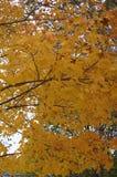 槭树在黄色一片美丽的树荫离开  图库摄影