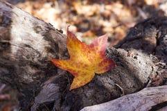 槭树在Grampians国家公园,秋天澳大利亚离开 图库摄影