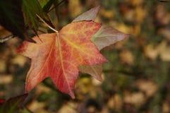 槭树在Grampians国家公园,秋天澳大利亚离开 库存图片