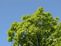 槭树天空 免版税库存照片