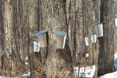 槭树季节春天糖浆 图库摄影