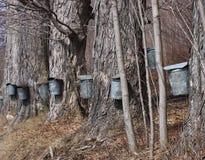 槭树季节糖 库存图片