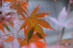槭树密林的传说 库存图片