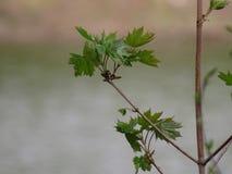 槭树射击与芽和年轻叶子的在春天 图库摄影