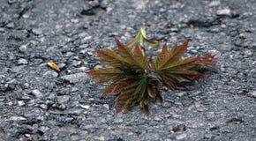 槭树小树枝在路面的 免版税库存图片