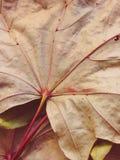 槭树干燥叶子 免版税图库摄影
