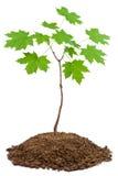 槭树年轻人 免版税库存照片