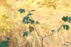 槭树年轻树干与绿色的在干燥黄色草背景离开  免版税库存照片