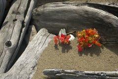 槭树幼木红色叶子在漂流木头中的在Flagstaff湖 免版税库存照片
