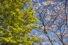 槭树开花 库存照片