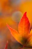 槭树日本美丽的叶子  免版税库存照片