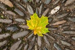槭树星 图库摄影