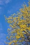 槭树春天 库存图片