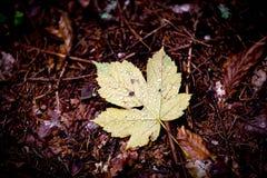 槭树有水下落的秋天叶子 图库摄影