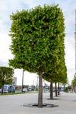 槭树树在站点的在城市 装饰结构树 免版税库存照片