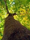 槭树树干 免版税库存图片