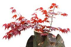 槭树树桩 库存照片