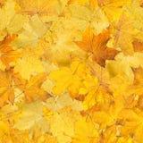 槭树桔子背景按了叶子 库存照片