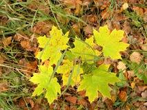 槭树灌木 免版税库存图片