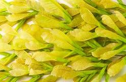 槭树灰种子,背景纹理 免版税库存照片