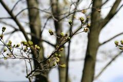 槭树用新芽 Sring背景 图库摄影