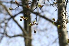 槭树用新芽 Sring背景 免版税库存照片
