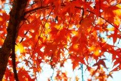 槭树留下特写镜头 免版税库存照片