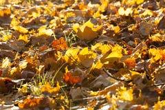 槭树的下落的叶子 库存照片