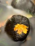 从槭树的五颜六色的打破的叶子在玄武岩石头在被弄脏的水中 库存图片