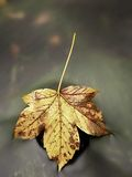 从槭树的五颜六色的打破的叶子在玄武岩石头在被弄脏的水中 图库摄影