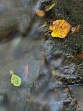 从槭树的五颜六色的打破的叶子在玄武岩石头  库存照片