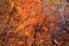 槭树的光亮的反射在清楚的池塘水中 免版税库存照片