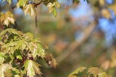 槭树的春天叶子。 自然本底 免版税库存照片