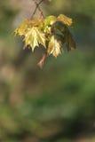 槭树的春天叶子。 自然本底 免版税库存图片