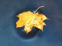 从槭树的残破的叶子在玄武岩石头在山河中被弄脏的水  免版税库存图片