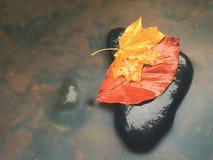 从槭树的残破的叶子在玄武岩石头在山河中被弄脏的水  图库摄影