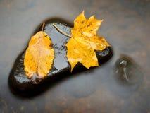 从槭树的残破的叶子在玄武岩石头在山河中被弄脏的水  库存照片
