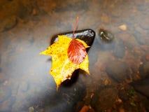 从槭树的残破的叶子在玄武岩石头在山河中被弄脏的水  免版税库存照片