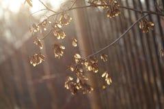 槭树的种子在落日的光芒的 免版税库存照片
