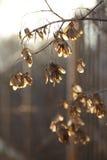 槭树的种子在落日的光芒的 免版税库存图片