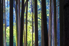 槭树的红色叶子在秋天日本 免版税库存照片