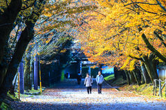 槭树的红色叶子在秋天日本 库存照片