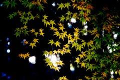 槭树的红色叶子在秋天日本 免版税图库摄影