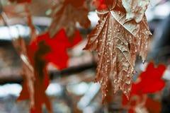 槭树的红色叶子湿在雨以后 免版税库存图片