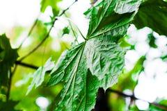 槭树的绿色叶子湿在雨以后 库存照片