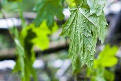 槭树的绿色叶子湿在雨以后 库存图片