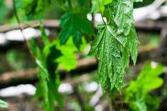 槭树的绿色叶子湿在雨以后 免版税图库摄影